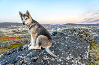 Young Greenland Husky sitting in front of Ilulissat