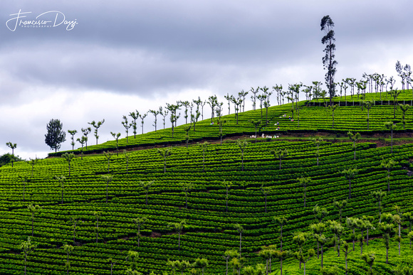 Tea plantation in Ooty municipality Tamil Nadu India green