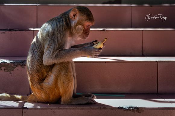 Macaque on Mount Popa staircase contemplating banana