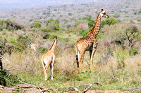 Giraffe with calf in Hluhluwe Umfolozi Game Reserve