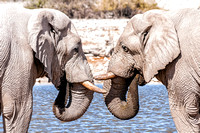 Two african elephants face to face at the water pool in Etoshna