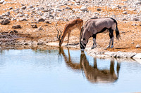 Gemsbok and Springbok at the water pool in Etosha park Namibia Africa
