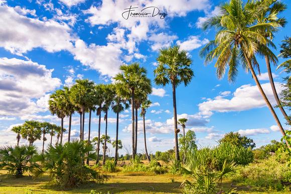 Cambodian countryside Cambodia palm tree
