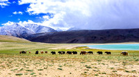 Yak herd in Tso Moriri lake area Ladakh landscape