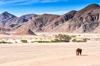 Desert elephant walking in the dried up Hoanib river